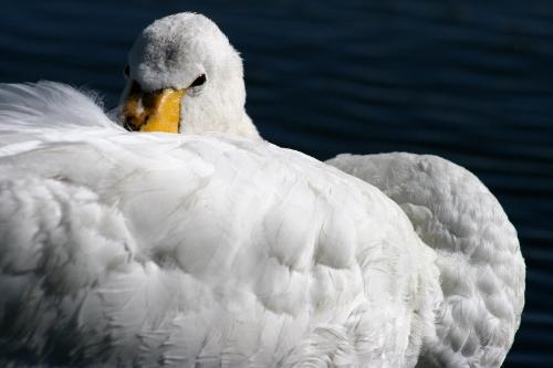 plumas cisne
